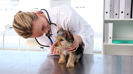 Vet checking a yorkshire terrier