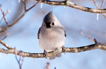 A tufted titmouse sitting in an icy tree.