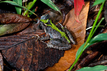 A cricket frog is resting on the forest floor.