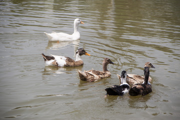 Group of ducks swimming in the pond