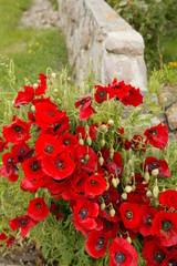 Roter Klatschmohn vor Steinmauer