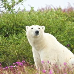 Polar Bear sitting in the grass