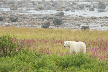 Polar Bear standing in the grass 1