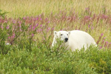 Polar Bear standing in the grass 2