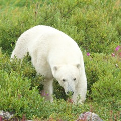 Polar Bear sniffing in the grass 1