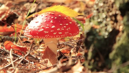 fly agaric and leaf