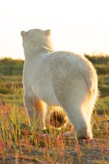 Polar Bear from behind in the sun