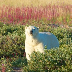 Polar Bear and Fire Weed SQ WB