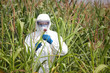 GMO,professional in uniform  examining corn cob on field