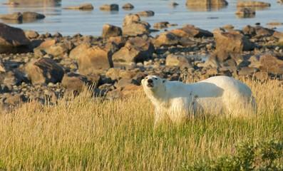 Polar Bear in the grass 1