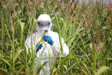 GMO,professional in uniform  examining corn cob on field