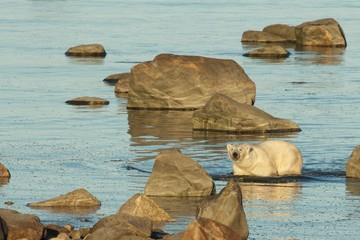 Polar Bear in the water 1