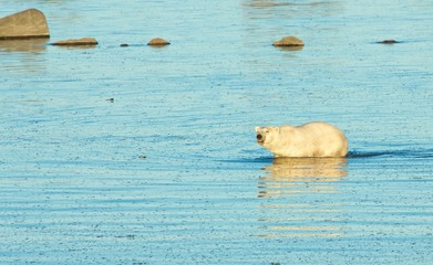 Polar Bear in the water 2 CP WB
