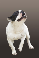Running dog breed French Bulldog on a brown background