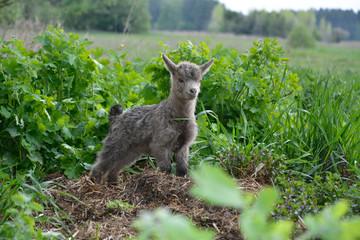 Little goats graze.
