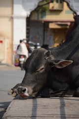 Indian holy cow in the street of Udajpur