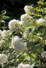 viburnum shrub with white spherical flowers