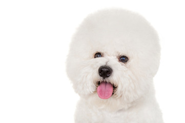 Bichon dog on white background
