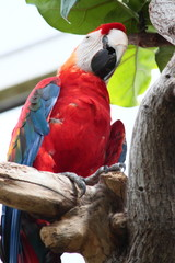 Scarlet Macaw In Zoo Enclosure