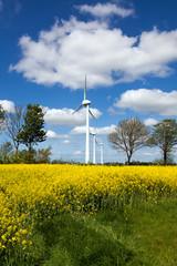 Rapsblüte mit Windkraftwerk