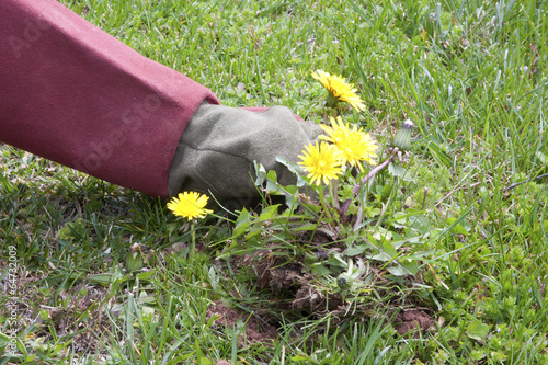 Foto op Plexiglas Paardebloem Pulling Up Dandelions
