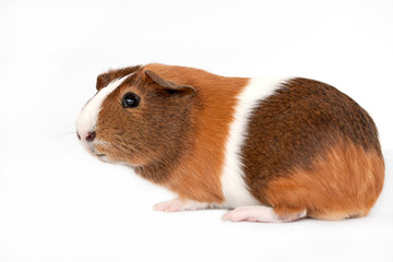 Brown, white and orange guinea pig on a white background.