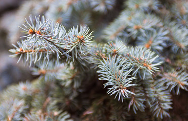 Branches of the Colorado blue spruce