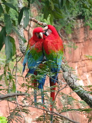 Beautiful couple of wild red macaws, seen at Buraco das Araras (