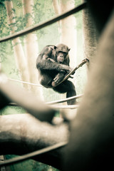 Chimpanzee Sitting on  Branch