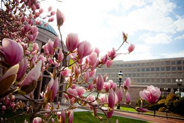Budding magnolias against sky