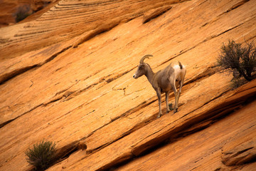 Mountain Goat in Zion National Park, Utah, USA