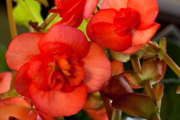 Red Begonia Blooms