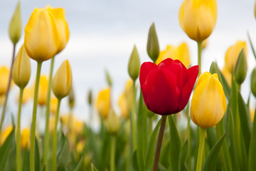 One Red Tulip in Yellow