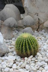 cactus in tray garden