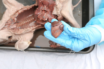 Hands with gloves holding a fetal pig hearth