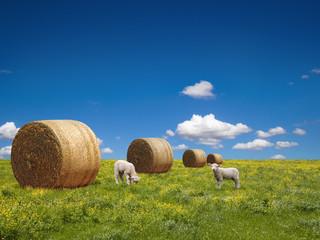 Lamb son  green meadow