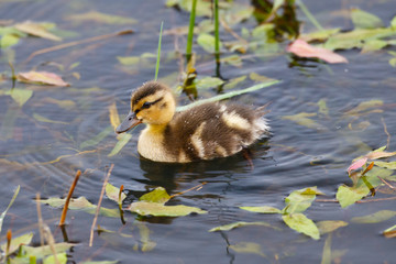 Baby duck in a pond