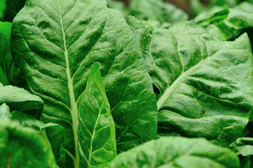 silverbeet crops grow in garden