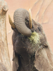Elephant eating grass