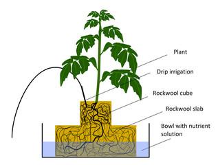 Plant in hydroponics