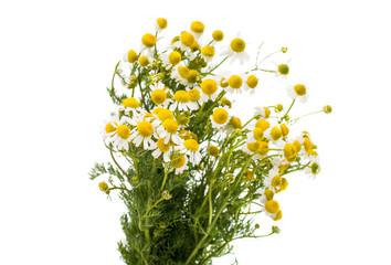 Medical daisy