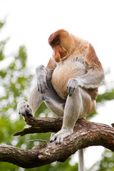 A sleeping Proboscis monkey in a tree
