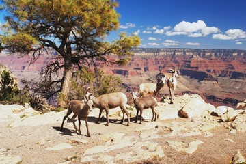View of bighorns in Grand Canyon, Arizona