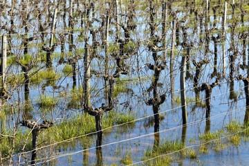 Flooded vineyard in Bordeaux