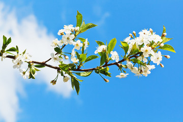 sprig of blossoming cherry on blue sky