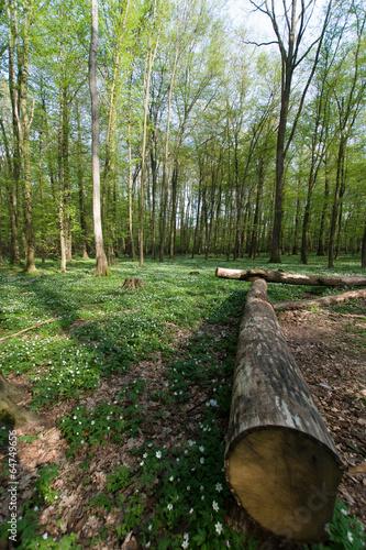 Wiosna w lesie, kwitnące kobierce zawilcy