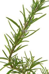 Rosmarin (Rosmarinus officinalis)