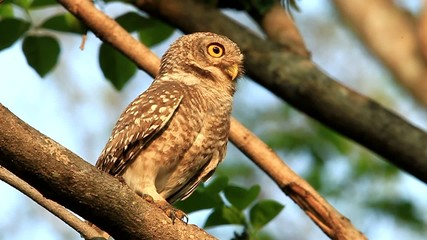 Spotted owlet( Athene brama) in nature