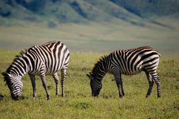 zebra pascolo ngoro ngoro tanzania africa