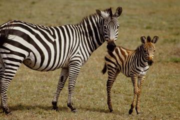 zebra di adulto con piccolo savana tanzania